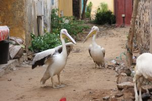Pelicans on Gorée Island